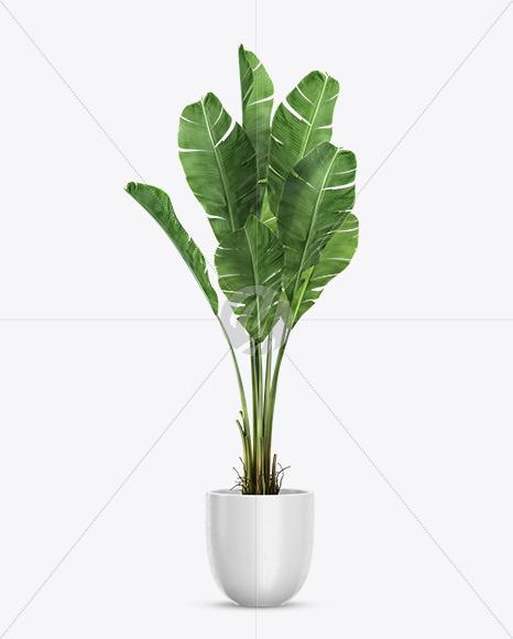 Download Banana Palm in the Pot Mockup Free Mockups