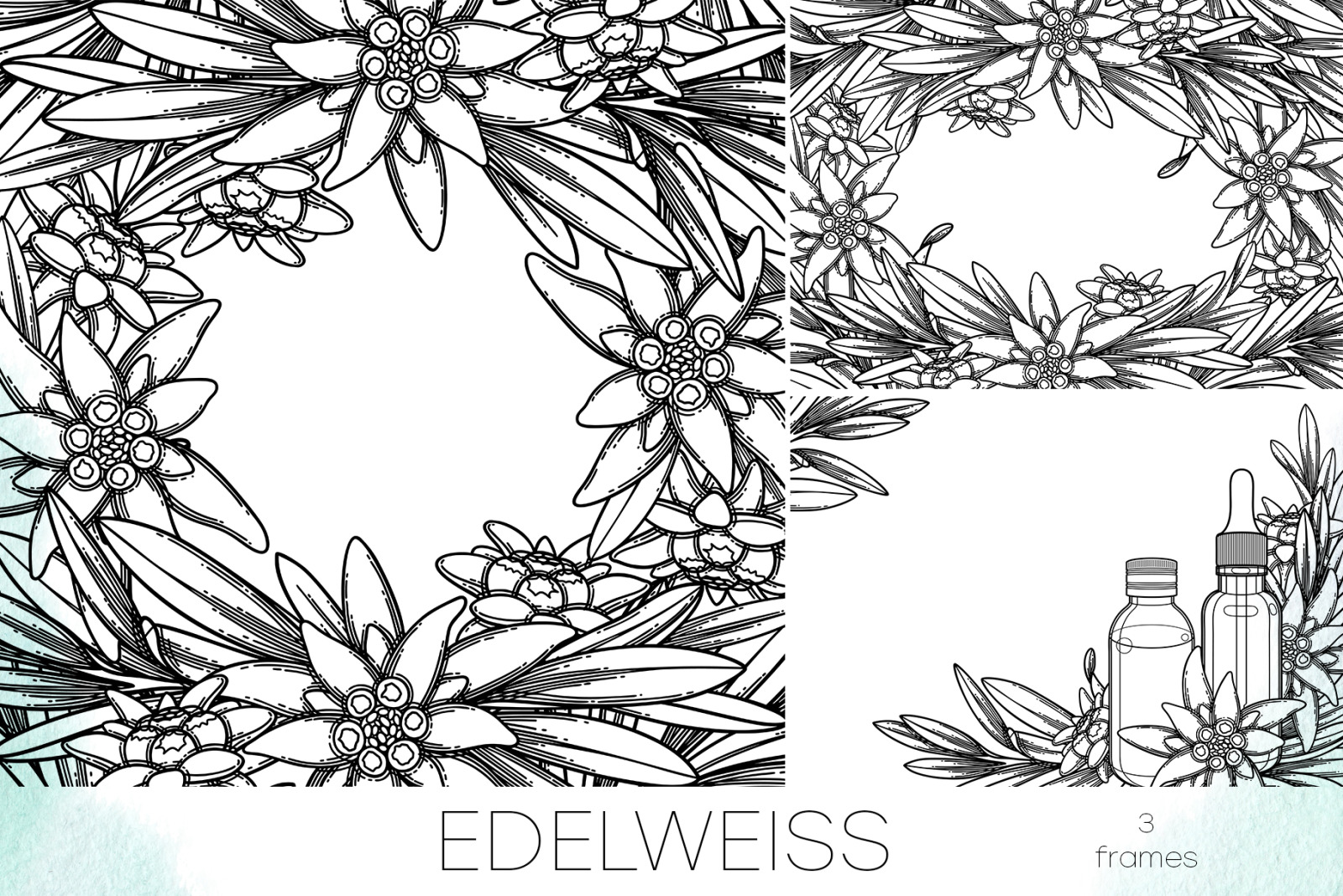 Edelweiss - vector graphics