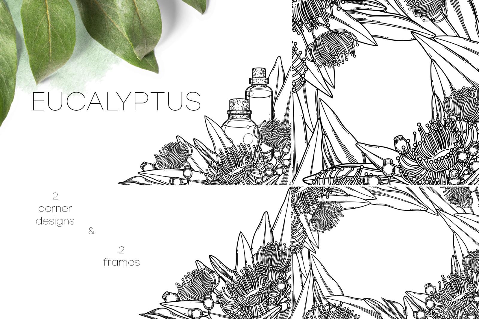 Eucalyptus - vector graphics